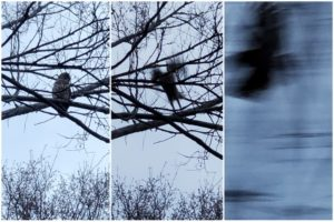 Merge of an owl sitting and then flying away
